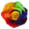 Rosa Inmortalizada o preservada arcoiris en cali