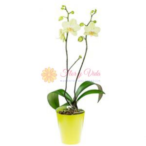Orquidea Phalaenopsis en cali