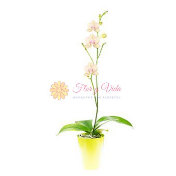 Orquidea Phalaenopsis amarilla en cali