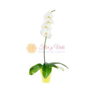 Orquidea Phalaenopsis blanca en cali