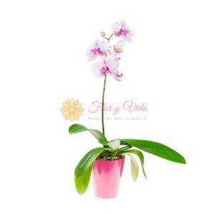 Orquidea Phalaenopsis rosada en cali