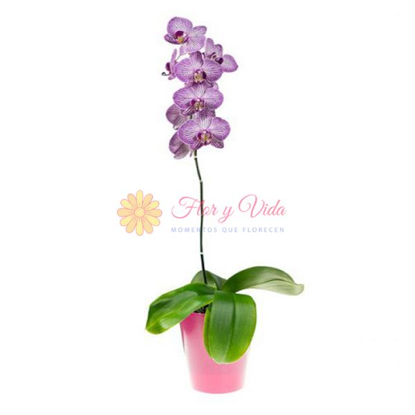 Orquidea Phalaenopsis morada en cali